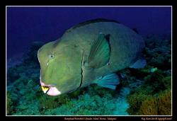 Bumphead parrotfish at Sipadan Island, Malaysia  Nikon ... by Kay Burn Lim