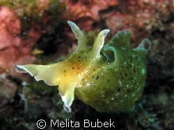 Aplysia Punctata from Fiesa/ Oly c5060wz, f/7,1,  1/50s, ... by Melita Bubek