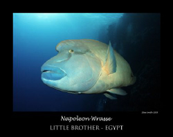 large napoleon wrasse by Stew Smith