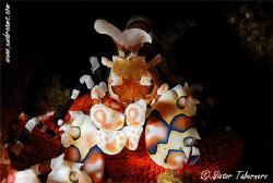 Harlequin Shrimp by Victor Tabernero