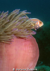 I know - another clown fish!!  Sorry, but these pink ones... by Grahame Massicks