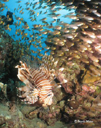 Lionfish Cave, there were no less than 250 lionfish on th... by Maria Munn