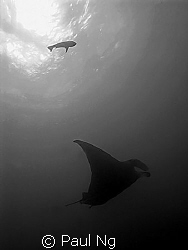Manta Ray. Taken with G9 Canon by Paul Ng