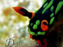 Nembrotha. Capture by Canon G9 with INON single strobe an... by Derrick Lim