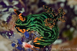 Nembrotha kubaryana munching on some ascidians.  Wakatobi... by Ross Gudgeon