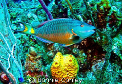 Stop-light parrotfish seen in Grand Cayman August 2008.  ... by Bonnie Conley