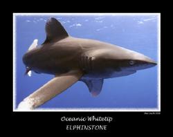 oceanic whitetip ( longimanus ) Elphinstone full frame 1... by Stew Smith