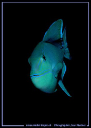 Face to face with this blue Triggerfish... :O) ... by Michel Lonfat