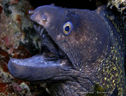 this poor morey eel is being picked at from the back from... by Andrea Severino