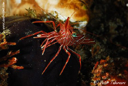 Rhynchocinetes durbanensis or Dancing Shrimp by Victor Tabernero