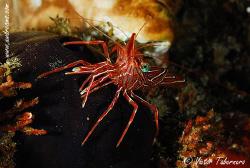 Rhynchocinetes durbanensis or Dancing Shrimp by Victor Tabernero