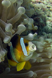 I know.. more clown fish - but this IS a different pose! by Andrew Macleod