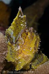 Leaf Scorpionfish.  Wakatobi, SE Sulawesi.  Canon 40D & C... by Ross Gudgeon