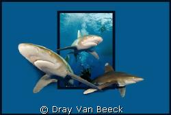 SHARKS... by Dray Van Beeck