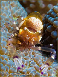 Pacific Clown Anemone Shrimp (Periclimenes brevicarpalis)... by Marco Waagmeester