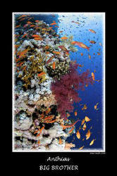 Anthias in numbers - Tokina 10-17mm