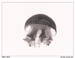 Jellyfish X-ray? by Stephen Holinski