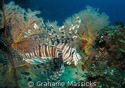 Found on Tiger Reef, Tioman Island.  Shot on my Olympus 5... by Grahame Massicks