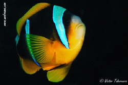 A Two Banded Clown Fish catched out of his Anemone by Victor Tabernero