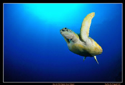 Cruising turtle in the blue.  Nikon D300, Tokina 10-17 ... by Kay Burn Lim