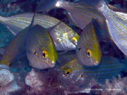 Sparus Salpa everywhere !  but these 2 seemed always toge... by Andrea Severino