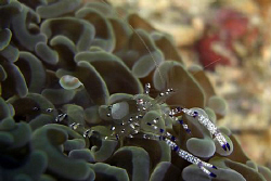 Cleaner shrimp ... hard things to see! by Andrew Macleod
