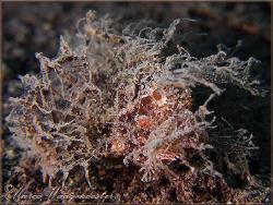 Ambon Scorpionfish (Pteroidichthys amboinensis) - Puri Ja... by Marco Waagmeester