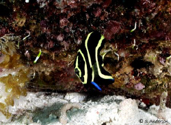 This photo of a juv. French Angelfish was taken while div... by Steven Anderson