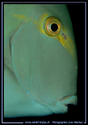 The Profil of an Ocean Surgeonfish... :O) ... by Michel Lonfat