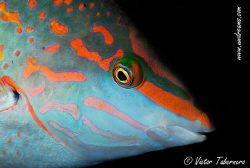 Checkerdboard Wrasse by Victor Tabernero