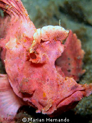 lacy scorpion fish found in Lembeh, Indonesia. Using Olym... by Marian Hernando