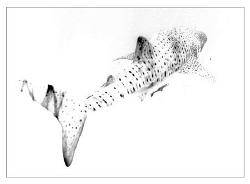 Whaleshark....Ningaloo Reef by Stephen Holinski
