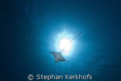 Spotted Eagle Ray (Aetobatus narinari) taken in Na'ama Ba... by Stephan Kerkhofs