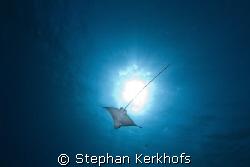 Spotted Eagle Ray (Aetobatus narinari) taken in Na'ama Ba... by Stephan Kerkhofs