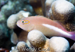 Hawkfish at ulong Channel, Palau Nikon D80 + NIkon 60mm +... by Wendy Capili