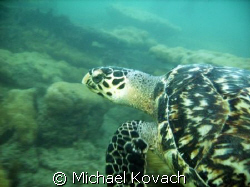 Turtle on the Inside Reef at Lauderdale by the Sea by Michael Kovach