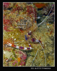 Cleaning shrimp, (Stenopus hispidus). Canon G9 & Inon D20... by Bea & Stef Primatesta