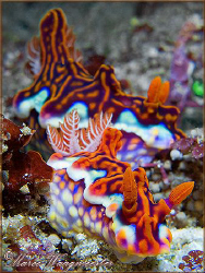 Couple of Chromodorididae Nudibranchs (Ceratosoma magnifi... by Marco Waagmeester