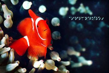 PNG walindi - clownfish - Nik. RS - subtronic strobe by Manfred Bail