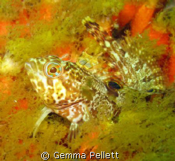 Speckled Klipfish or Clinus venustris Taken at Patridge ... by Gemma Pellett