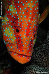 Coral Grouper Portrait by Victor Tabernero