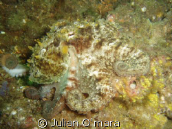 Octopus found in the rocks under Swansea bridge, NSW, Aus... by Julian O'mara