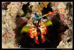 Peacock Mantis Shrimp at Kapalai House Reef, Malaysia.  ... by Kay Burn Lim