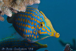 Longnose Filefish.  Ningaloo Reef, Western Australia.  Ca... by Ross Gudgeon