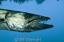 Barracuda at cleaning station...  The little wrasse insid... by Bill Stewart