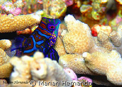 Mandarin site in Lembeh. Taken with olympus CW8080. by Marian Hernando