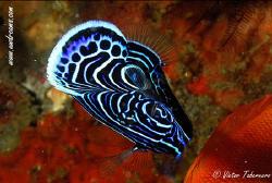 Emperor Angelfish (Juvenile) by Victor Tabernero