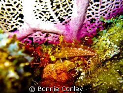 Diamond Blenny seen in Grand Cayman. Photo taken with a C... by Bonnie Conley