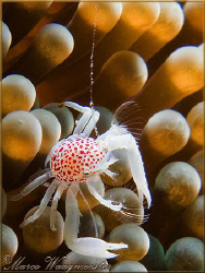 Little red-spotted crab on anemone - Puri Jati, Bali (Can... by Marco Waagmeester