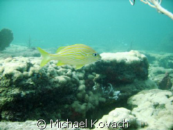 French Grunt on the Inside Reef at Lauderdale by the Sea by Michael Kovach